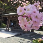 鎮国寺の桜