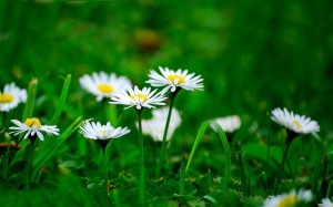 daisies-beautiful_flowers_Picture_wallpaper_medium